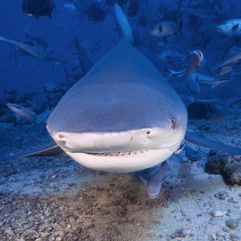 ADOPT A BULL SHARK, SUCCESS – THANK YOU!