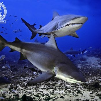 LAST WEEK TO 'ADOPT A BULL SHARK' AND WIN A WEEK OF DIVING, FIJI